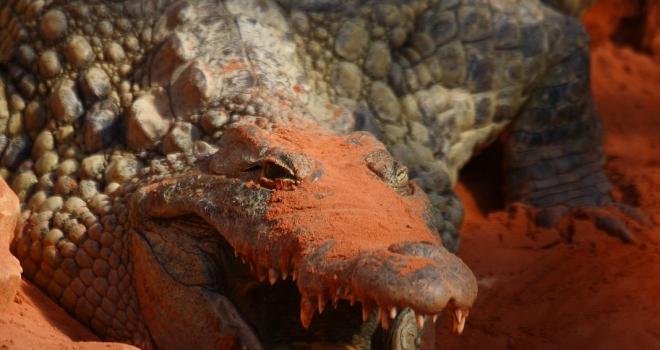 Crocodile dans l'ocre