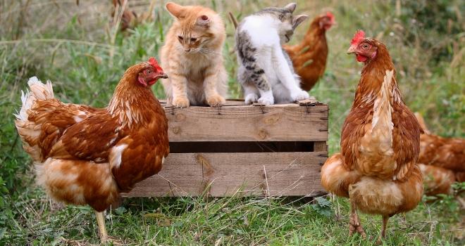 Poules et chats