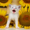 Chat et tournesols
