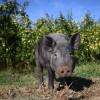 Cochon dans un verger