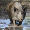 Cochon dans une mare