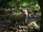 Cochon dans un sous bois