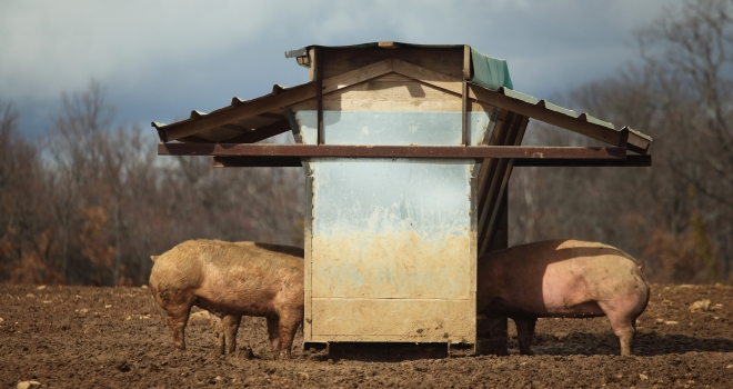 Cochons du ventoux