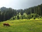 Prairie et vache
