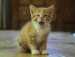 chaton miaulant