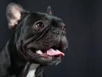 chien bouledogue studio 2
