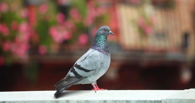Pigeon Bizet Sienne Italie