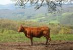 Vache toscane