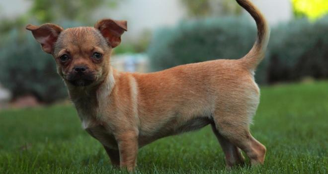 Chihuahua 1