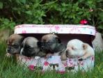 bébés chihuahua 1