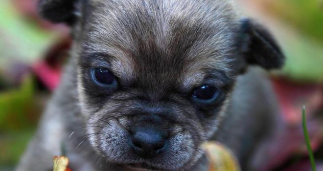 bébé chihuahua 2