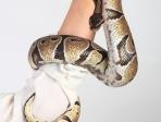 Python royal 2