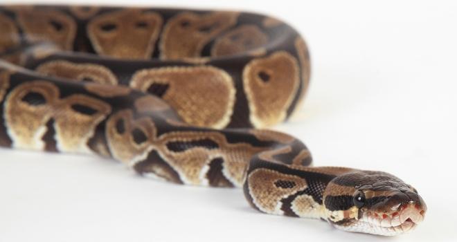 Python royal 7