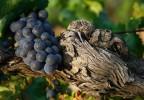 Vigne Provence
