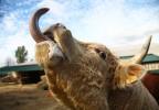 Vache tirant la langue