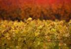 Vignes en automne Vaucluse