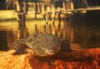 Crocodile Pierrelatte