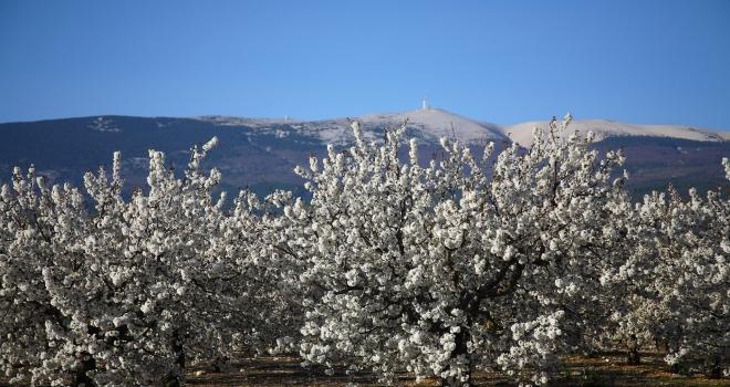 Cerisiers en fleurs au printemps Vaucluse
