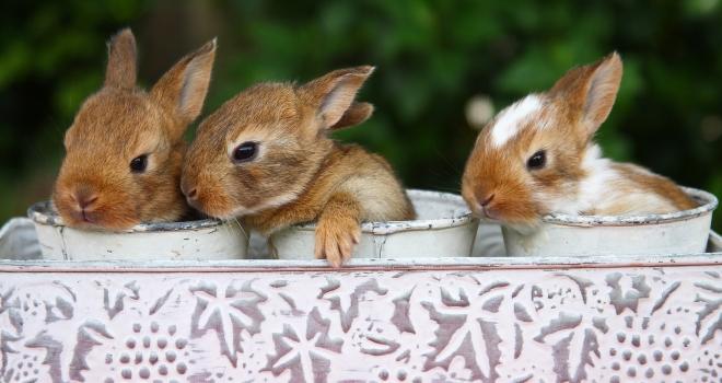 Bébés  lapins