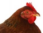 Portrait de poule