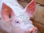Portrait de cochon