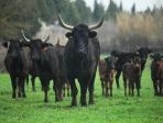 Vaches camarguaises