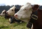 Vaches savoyardes