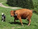 vache et chien de berger
