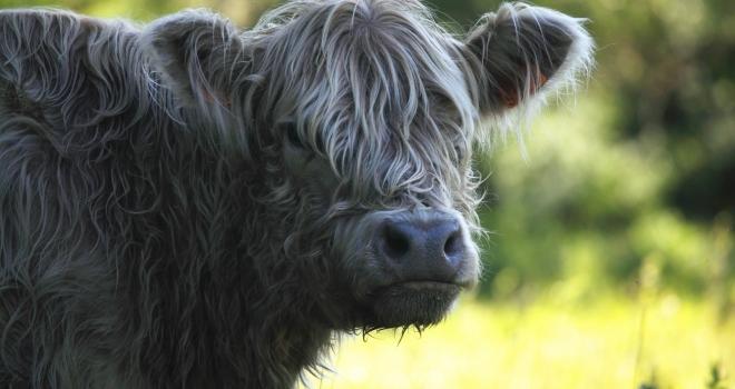 Vache Galloway Vaucluse