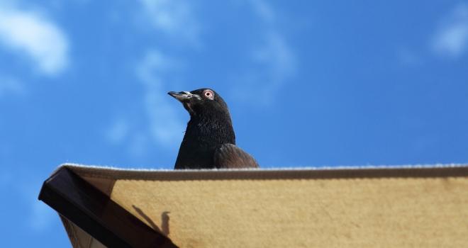 Pigeon Italie