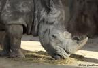 Rhinocéros zoo de Barcelone